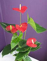 Антуриум красный (70см.), фото 1