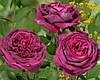 Роза английская Принц, ОКС