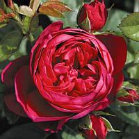 Роза чайно-гибридная Аскот, ОКС, фото 1