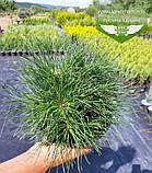 Pinus mugo uncinata, Сосна гірська гачкувата,WRB - ком/сітка,30-40см, фото 2