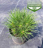 Pinus mugo uncinata, Сосна гірська гачкувата,WRB - ком/сітка,30-40см, фото 3