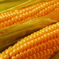 Насіння кукурудзи ДС0493Б