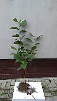 Саженцы Магнолии Суланжа 4 летняя (70 см - 1 м)