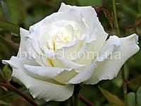 Троянда Боїнг (Boeing), фото 1