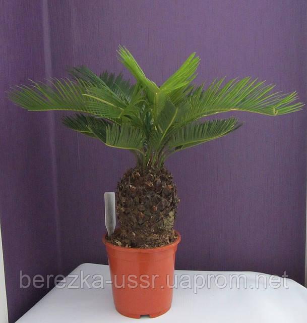 Цикас пальма цикас 35см.