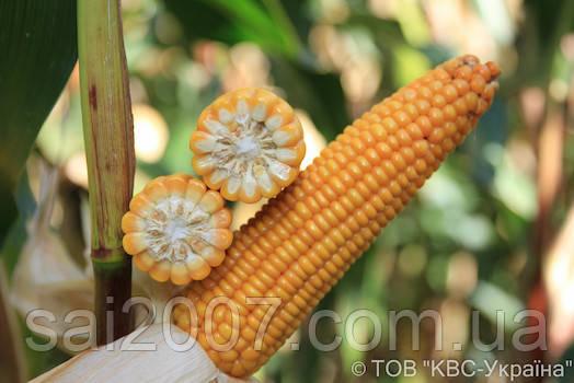 Семена кукурузы Кинесс Фао 210