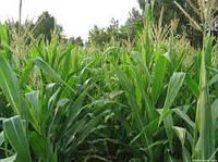 Семена кукурузы Днепровский 181 СВ (ФАО-180) среднеспелый