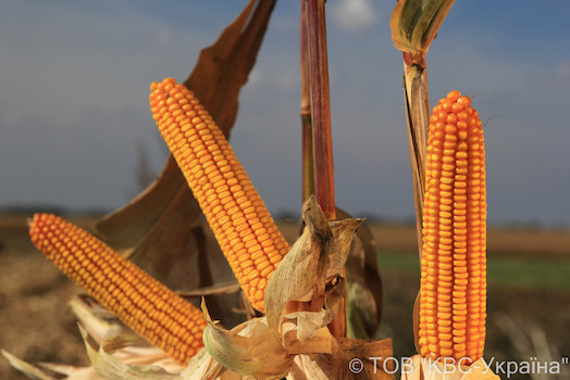 Семена кукурузы Авангард фао 280