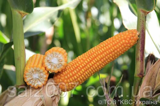 Семена кукурузы Богатыр фао 290