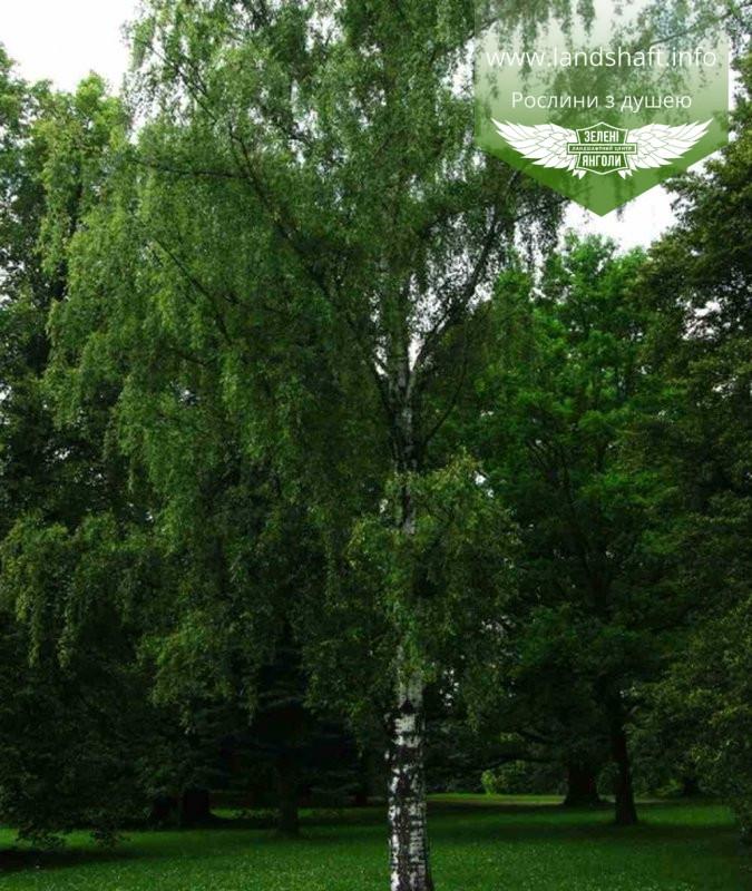 Betula pendula, Береза повисла,WRB - ком/сітка,300-400см,10-15см