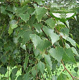 Betula pendula, Береза повисла,WRB - ком/сітка,300-400см,10-15см, фото 2