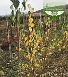 Betula pendula, Береза повисла,WRB - ком/сітка,300-400см,10-15см, фото 3