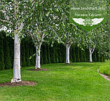 Betula utilis var. jacquemontii, Береза корисна Жакмана,WRB - ком/сітка,TG4-6,200-250см, фото 4