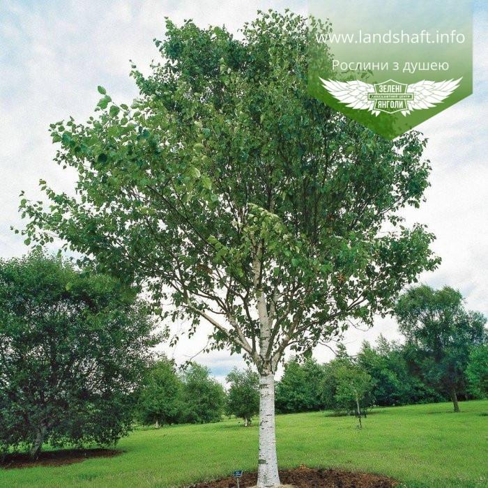 Betula utilis var. jacquemontii, Береза корисна Жакмана,WRB - ком/сітка,250-300см,TG6-8