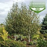 Betula utilis var. jacquemontii, Береза корисна Жакмана,WRB - ком/сітка,250-300см,TG6-8, фото 2