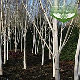 Betula utilis var. jacquemontii, Береза корисна Жакмана,WRB - ком/сітка,250-300см,TG6-8, фото 5