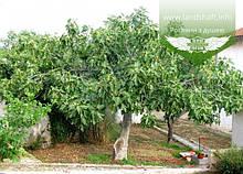 Ficus carica, Інжир,C3 - горщик 3л