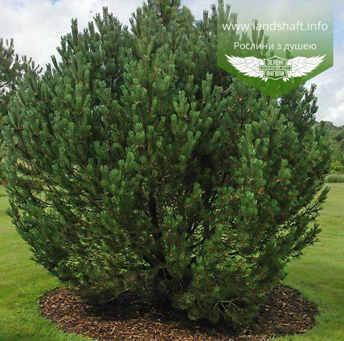 Pinus mugo uncinata, Сосна гірська гачкувата,WRB - ком/сітка,40-50см
