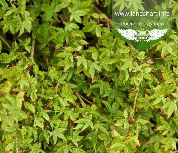 Acer palmatum 'Little Princess', Клен пальмолистий 'Літтл Прінцесс',C2 - горщик 2л,40-60см