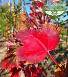 Acer rubrum 'Brandywine', Клен червоний 'Брендівайн',WRB - ком/сітка,250-300см,PA140-160,TG4-6, фото 5