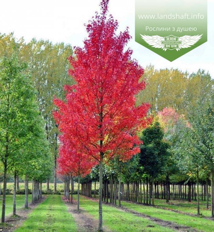 Acer rubrum 'Brandywine', Клен червоний 'Брендівайн',WRB - ком/сітка,300-350см,TG8-10,PA60-100