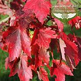 Acer rubrum 'Brandywine', Клен червоний 'Брендівайн',WRB - ком/сітка,300-350см,TG8-10,PA60-100, фото 3