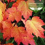 Acer rubrum 'Brandywine', Клен червоний 'Брендівайн',WRB - ком/сітка,300-350см,TG8-10,PA60-100, фото 4
