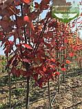 Acer rubrum 'Brandywine', Клен червоний 'Брендівайн',WRB - ком/сітка,300-350см,TG8-10,PA60-100, фото 6