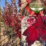 Acer rubrum 'Brandywine', Клен червоний 'Брендівайн',WRB - ком/сітка,300-350см,TG8-10,PA60-100, фото 7