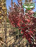 Acer rubrum 'Brandywine', Клен червоний 'Брендівайн',WRB - ком/сітка,300-350см,TG8-10,PA60-100, фото 9