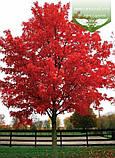 Acer rubrum 'Brandywine', Клен червоний 'Брендівайн',WRB - ком/сітка,300-350см,TG8-10,PA60-100, фото 10