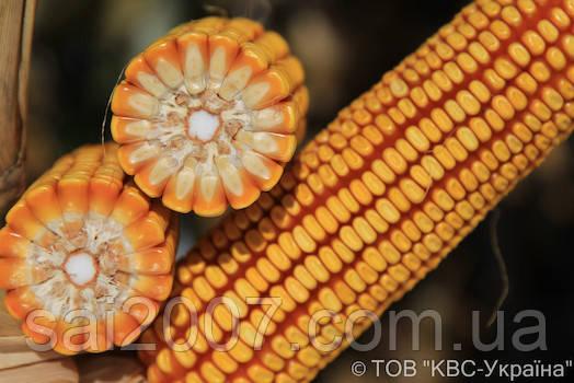 Семена кукурузы Камариллас фао 320