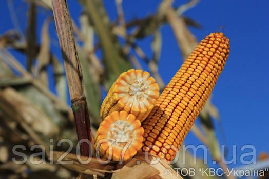 Семена кукурузы Кайфус фао 330