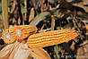 Семена кукурузы квс 6471 фао 340