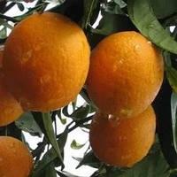Саженцы Апельсин Вашингтон Навел (Citrus sinensis Washington navel)