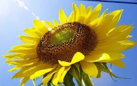 Насіння соняшнику Прийми
