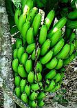 Банан Карликовый Кавендиш (Dwarf Cavendish), фото 2
