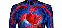 Сердечно-сосудистая и венозная система