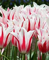 Луковицы тюльпанов Мерилин (Marilyn), 3 шт