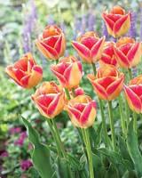 Луковицы тюльпанов Кенди Корнер ( Candy Corner), 3 шт