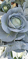 Семена капусты Блоктор F1 /  Bloktor F1 — позднеспелая, белокочанная