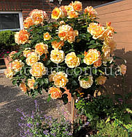 Штамбовая Роза Голден Квин (Golden Queen), фото 1