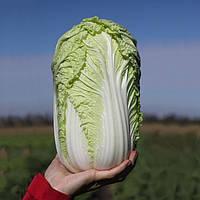 Семена пекинской капусты Тенсай F1 (КС 374 F1), Семена овощей профессиональные 2500 семян, Kitano