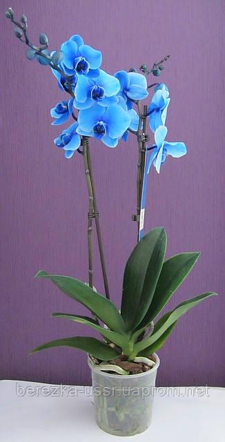 Синяя орхидея фаленопсис 2 цветоноса