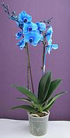 Синяя орхидея фаленопсис 2 цветоноса, фото 1
