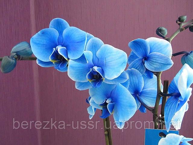 Голубая орхидея фаленопсис с двумя цветоносами