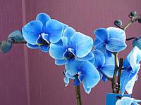 Голубая орхидея фаленопсис с двумя цветоносами, фото 1