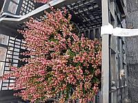 Верес Звичайний 'Самара' колір Червоний (ЗКС; 0,7 л)