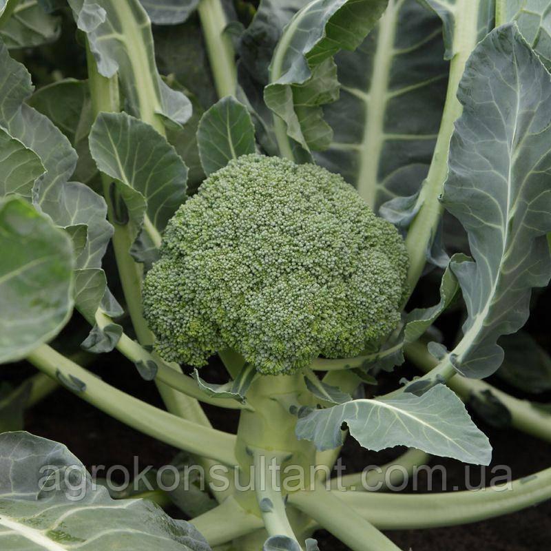 Семена капусты брокколи МОНРЕЛЛО F1 / MONRELLO F1 (Syngenta) - среднеранний (80-85 дней) гибрид