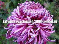 Хризантема крупноцветковая срезочная Лиловая  (сереневая) Седая Дама 2018г.